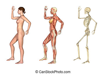 A set of anatomical overlays depicting the side view of a woman an arm and leg bent. These images will line up exactly, and can be used to study anatomy. 3D render.
