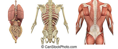 A set of anatomical overlays depicting the internal organs as seen from the back - these images will line up exactly, and can be used to study anatomy - 3D render. They can also be used to create your own illustrations - the possibilities are endless!