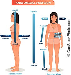 Anatomical positions vector illustration. Scheme of superior...