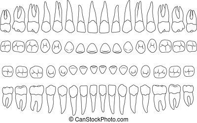 anatomically correct teeth - incisor, cuspid, premolar,...