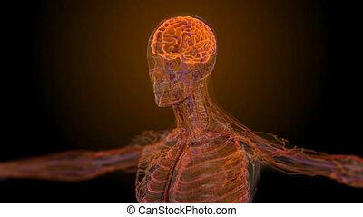 anatomiczny, medyczny, samiec, skandować