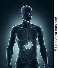 anatomie, antérieur, mâle, estomac, vue