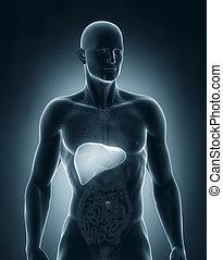 anatomie, antérieur,  mâle, foie, vue