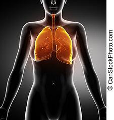 anatomie, antérieur, respiratoire, femme, vue