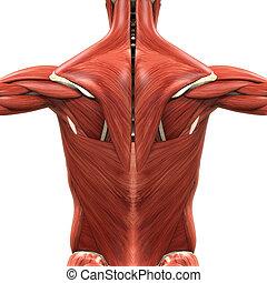 anatomie, back, gespierd