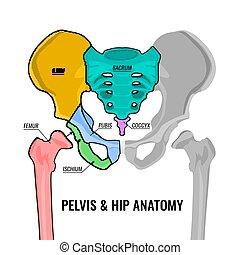 anatomie, bassin, plan