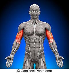 anatomie, biceps, spierballen, -