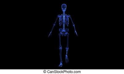 anatomie, body:, skelet, menselijk