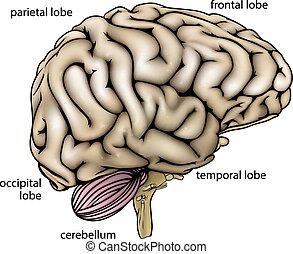 anatomie, cerveau, diagramme, étiqueté