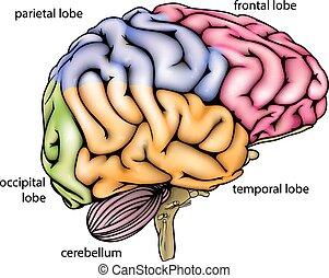anatomie, cerveau, diagramme
