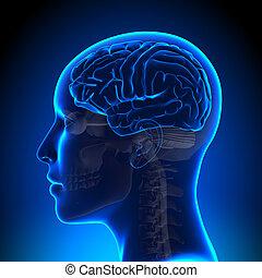 anatomie, cerveau, femme, vide