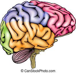 anatomie, cerveau humain, coupé