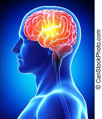 anatomie, cerveau, mâle, douleur