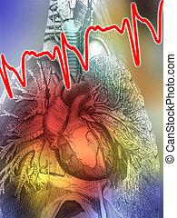 anatomie, coeur, -, humain, poumons