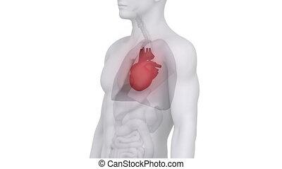anatomie, coeur, mâle, balayage