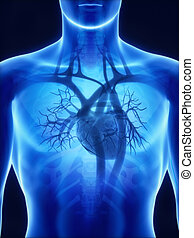 anatomie, coeur, rayon x