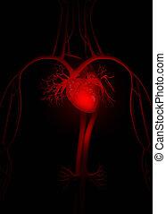 anatomie, coeur, rouges