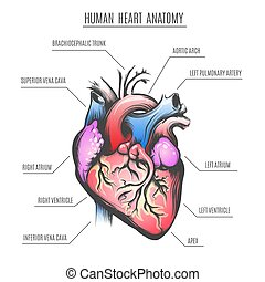 anatomie, coeur, vecteur, humain, illustration
