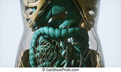 anatomie, détaillé, humain, système, digestif