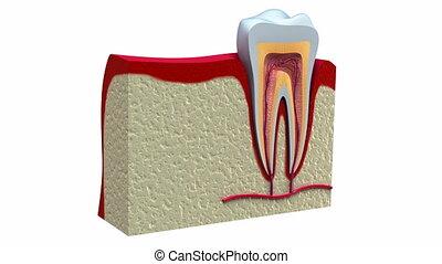 anatomie, de, dents saines, et, dentaire