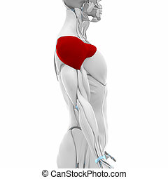anatomie, deltoid, spierballen, -, kaart