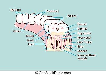 anatomie, dentaire, humain, dent