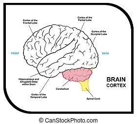 anatomie, diagramme, cerveau humain