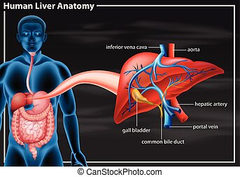 anatomie, diagramme, foie, humain
