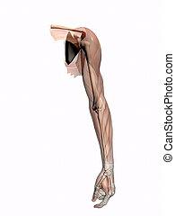 anatomie, een, arm, transparant, met, skeleton.