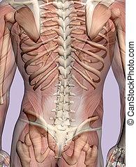 anatomie, een, gespierd, man, transparant, met, skeleton.