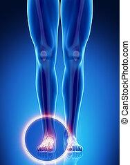 anatomie, enkel, mannelijke , been