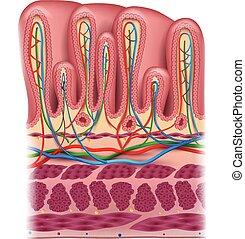 anatomie, estomac, couches, dessin, blanc, coloré, mur, fond, détaillé, beau