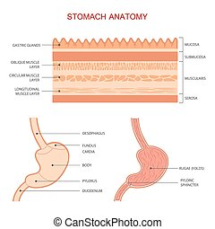 anatomie, estomac, humain