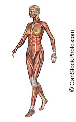 anatomie, figure femelle