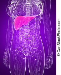anatomie, -, foie, femme