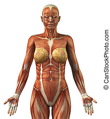 anatomie, frontal, femme, système, musculaire