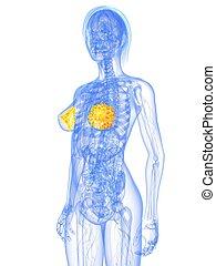 anatomie, glandes, -, mammaire, femme