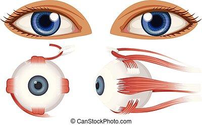 anatomie, globe oculaire, humain