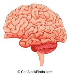 anatomie, grand plan, cerveau
