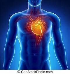 anatomie, hart, menselijk