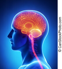 anatomie, hersenen, gedeelte, -, kruis