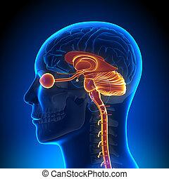 anatomie, hersenen, intern, -, onderdelen
