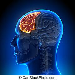 anatomie, hersenen, kwab, -, frontaal