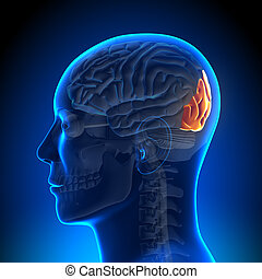 anatomie, hersenen, kwab, -, occipital