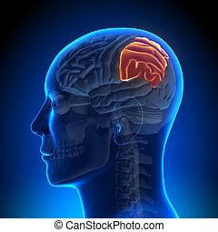 anatomie, hersenen, kwab, -, parietal