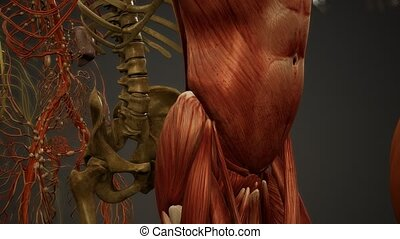 anatomie humaine, 3d, illustration, animé