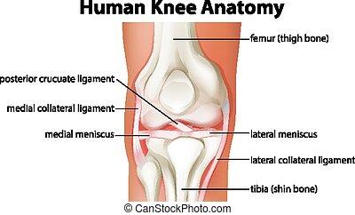 anatomie humaine, diagramme, genou