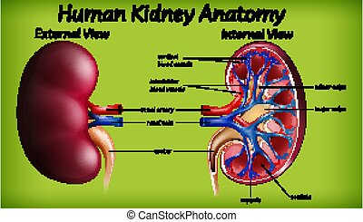 anatomie humaine, monde médical, rein