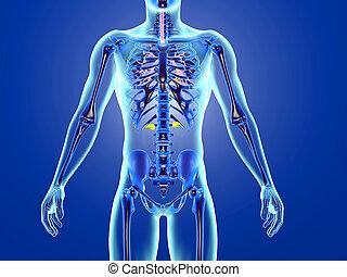 anatomie humaine, visualisation