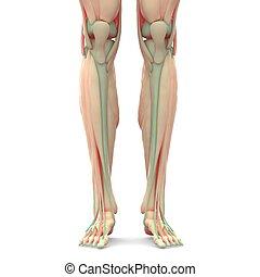 anatomie, jambes, muscles, humain